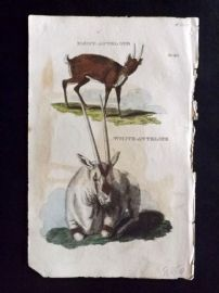 Brightly (Pub) 1811 Antique Hand Col Print. Pigmy-Antelope, White Antelope